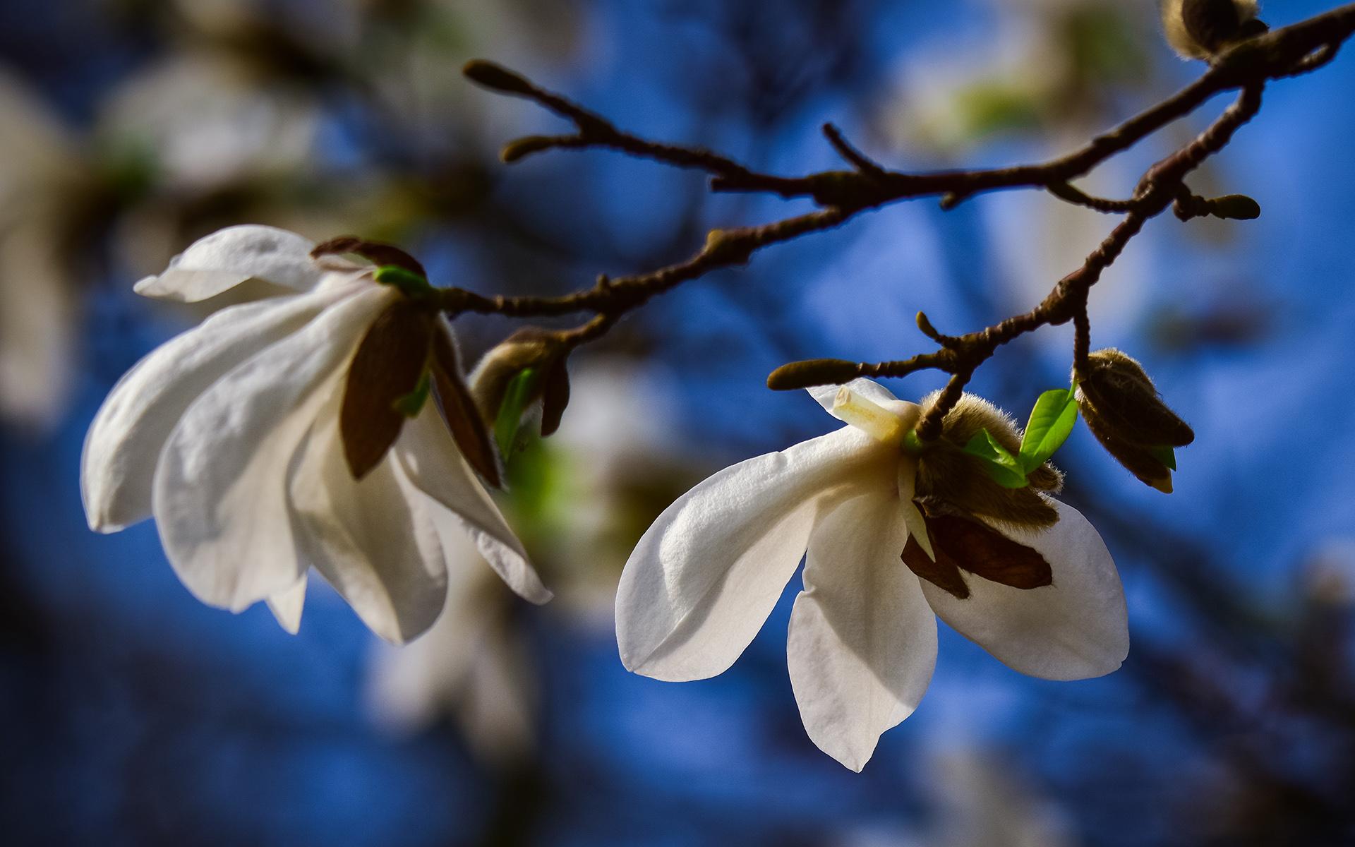 Magnolia_038